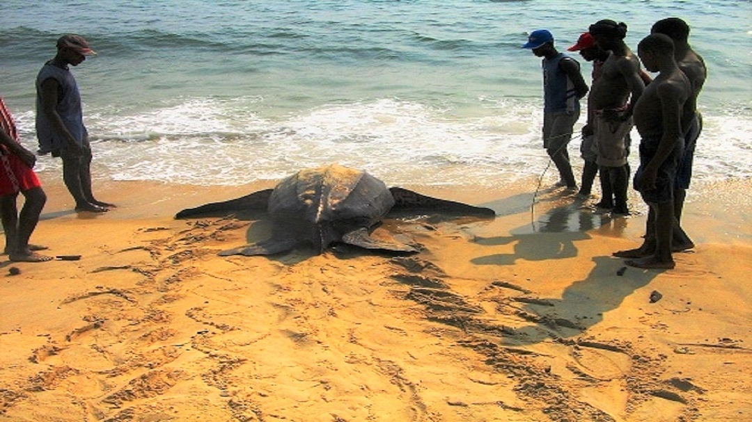 Leatherback being released