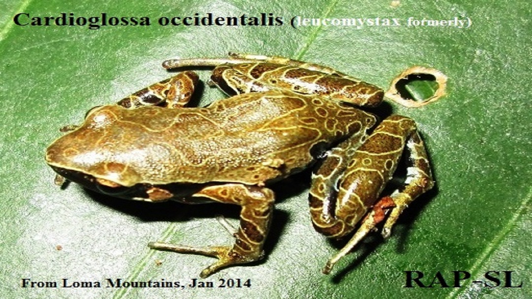 Cardioglossa Occidentalis